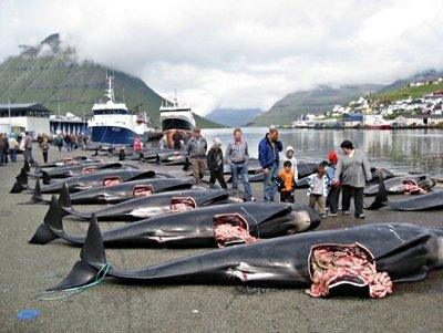 Massacro alle isole faeroe agireora - Bagno coi delfini ...
